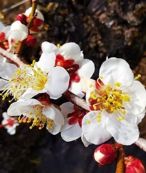 無題.png梅の花.png